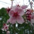 桜(陽光)