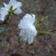 エゾムラサキ(白)