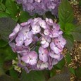 アジサイ 紫